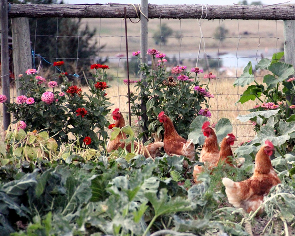 chickens in the garden 2